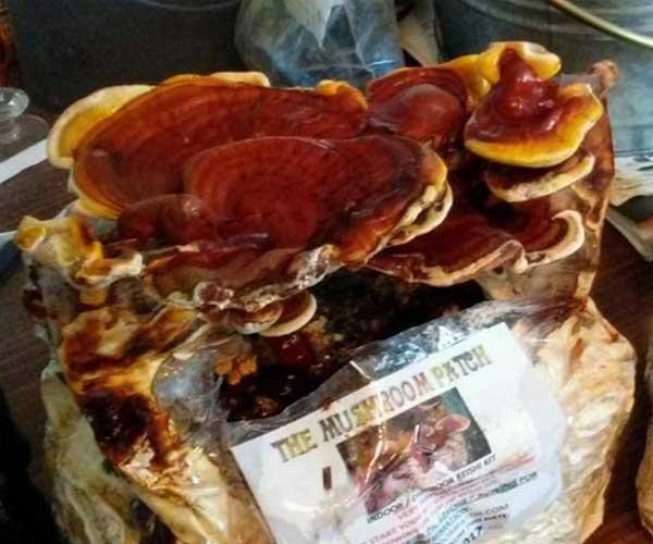 Mushroom Man LLC, Reishi Mushroom kit